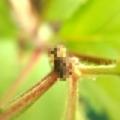 天道虫の幼虫