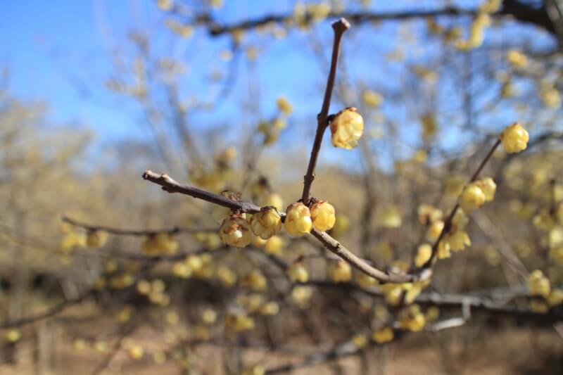 ロウ梅の花
