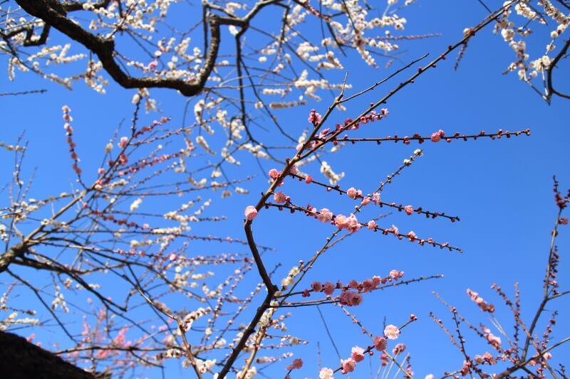 紅白の梅が同じ枝に咲いている