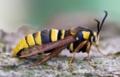 番外。襲われないようスズメバチそっくりに進化した「蛾」!