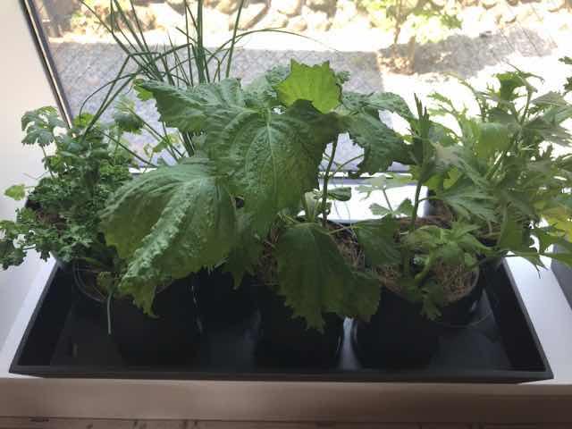 キッチンの野菜苗