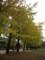 美しいイチョウ並木
