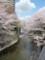 晴天の石神井川と桜