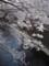 石神井川の桜1