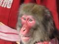 猿まわしの猿さん