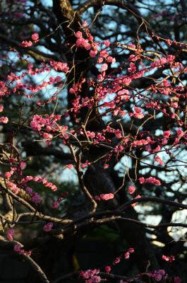 江戸城の紅梅