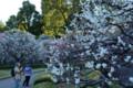 江戸城の白梅