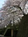 桜咲き誇る福井城趾