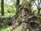平成30 台風24号で倒木したユリノキ