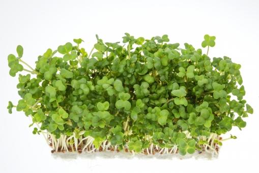 ブロッコリースプラウト栽培