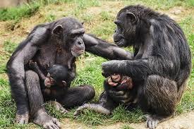 人間とチンパンジー 子育ての違い
