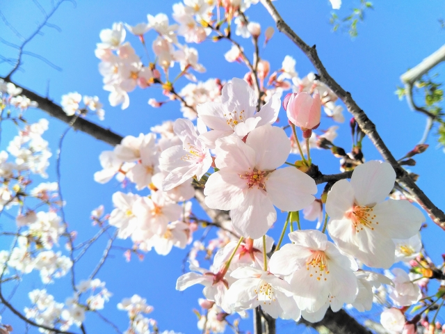 桜に染まる街 千葉県佐倉市