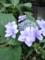 ガクが二重になってる紫陽花にであいました