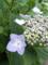紫陽花には雨が一番