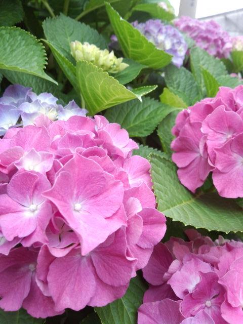 ここのお家の紫陽花は、本当に立派。