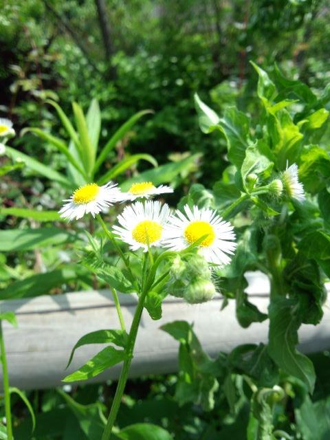 うちのひとが好きな花