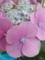 私の紫陽花