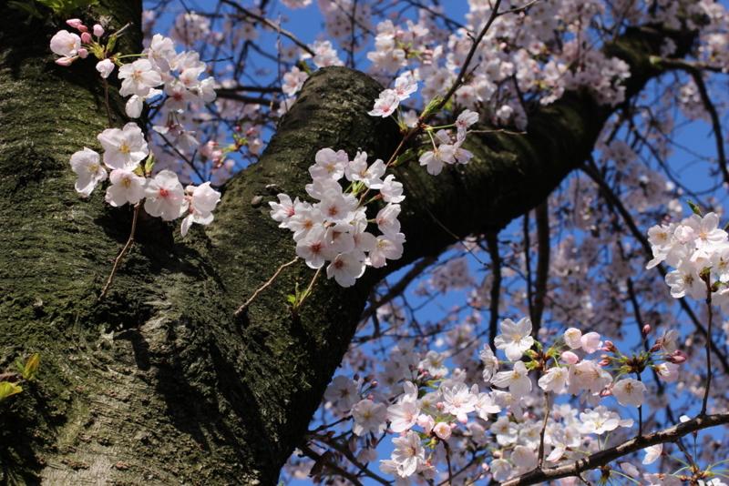 サクラ・桜・さくら