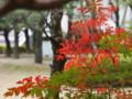 [20101128][紅葉][京都競馬場][京都競馬場20101128]PB280390.JPG