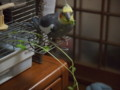 [オカメインコ]P9140012.JPG