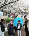 [風景][花]大阪造幣局一般公開「桜の通り抜け」:記念撮影