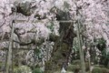 竹林院:天人の桜