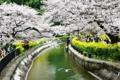 京都新聞写真コンテスト花見の飛翔