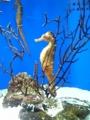 タツノオトシゴの仲間@東海大学海洋科学博物館(清水区三保)