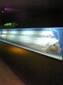 リュウグウノツカイ@東海大学海洋科学博物館(清水区三保)