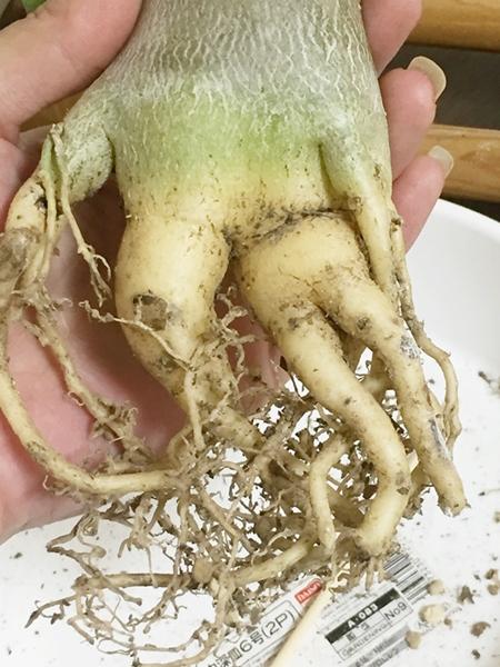 アデニウム 塊根植物