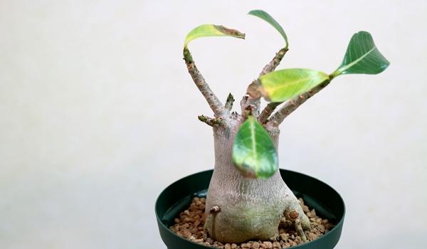葉が枯れるアデニウム