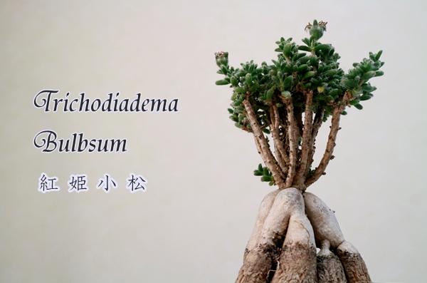 Trichodiadema bulbosum トリコディアデマ・ブルボスム