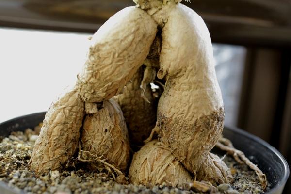 トリコディアデマ・ブルボスムの塊根