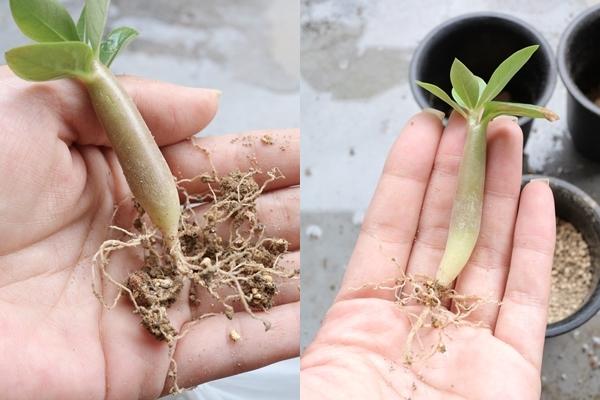 アデニウム幼苗の植替え