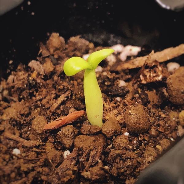 グラキリス 実生の成長記録