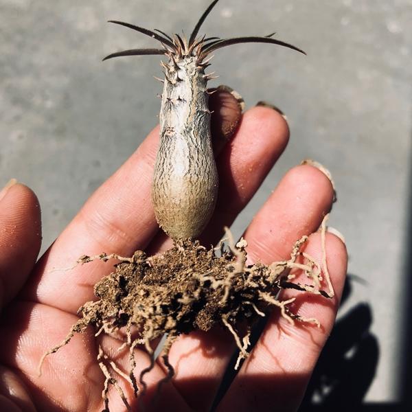 グラキリス実生の植え替え