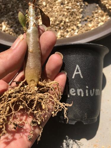 アデニウムの植え替え画像