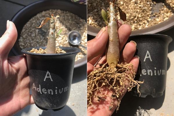 アデニウム 植え替え