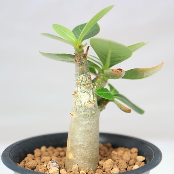 実生のアデニウム脇芽が登場