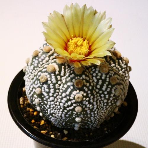 サボテン 兜丸の花