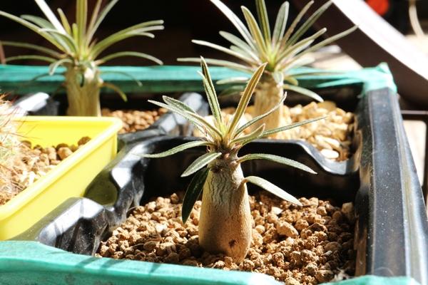 グラキリス播種