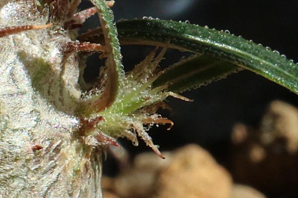 パキポディウムグラキリス 実生の脇芽