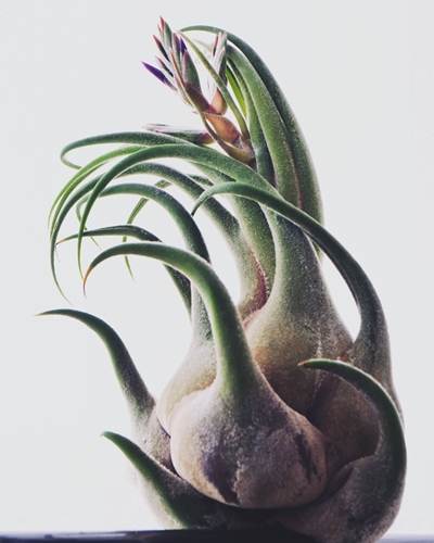 エアプランツ セレリアナ 花