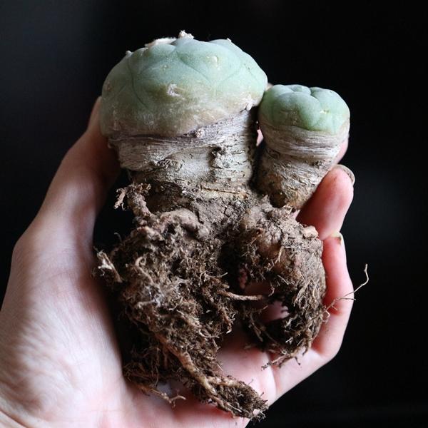 サボテン ロフォフォラ翠冠玉の塊根