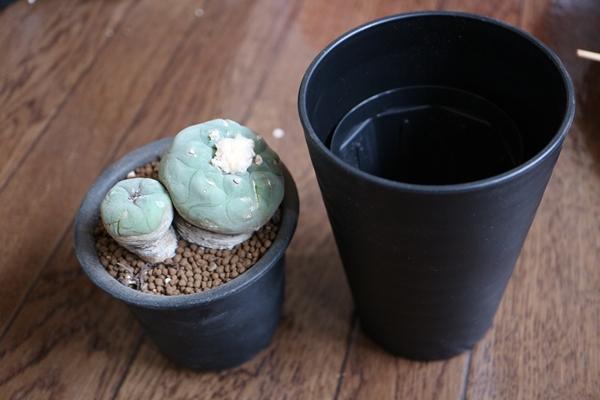 サボテン ロフォフォラ翠冠玉の植え替え