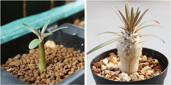 パキポディウムグラキリス 実生の成長