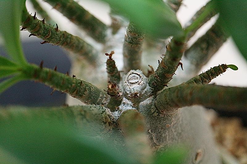 アデニウムの枝が腐って剪定する