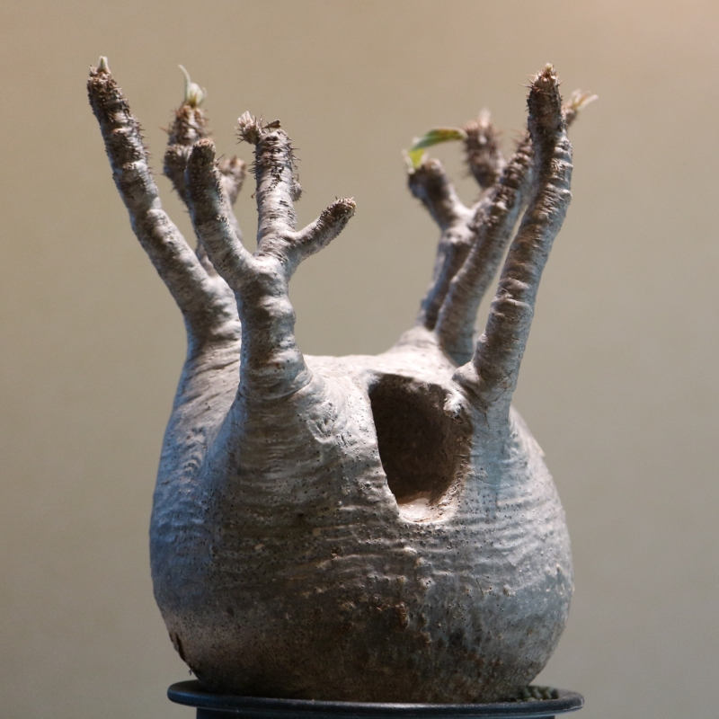 マダガスカル産 パキポディウムグラキリス