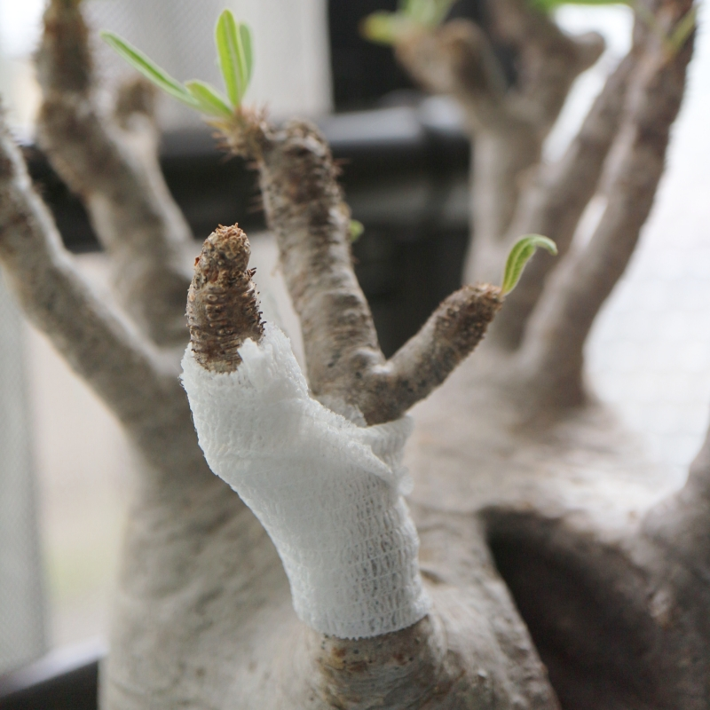 グラキリスの枝が折れる