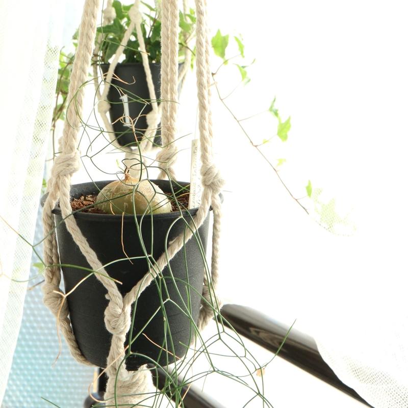 シゾバシス・イントリカータをハンギングプランターで吊るす